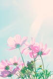 Cosmos pink flowers Stock Images