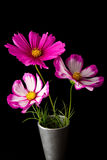 Cosmos pink and white flower Stock Images