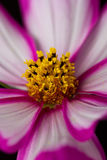 Cosmos pink and white flower Stock Image
