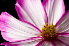 Cosmos pink and white flower Royalty Free Stock Image