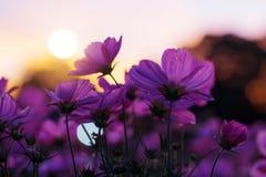 Cosmos pourpre avec l'ensemble du soleil Photographie stock libre de droits