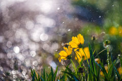 Cosmos in the rain. Cosmos under the rain in sunshine Royalty Free Stock Images