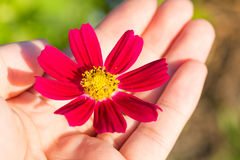 Cosmos red flower in hand warm tone. Royalty Free Stock Photo