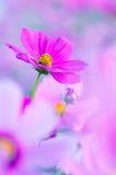 Cosmos rosado Fotografía de archivo libre de regalías