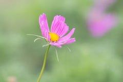 Cosmos rosado fotos de archivo libres de regalías