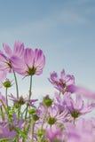 Cosmos rosado con el cielo azul Imagen de archivo