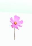 Cosmos rosado de la flor en el fondo blanco Imágenes de archivo libres de regalías