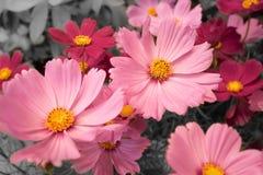 Cosmos rosado del primer con el fondo blanco y negro Foto de archivo libre de regalías