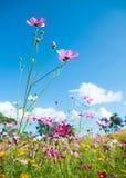Cosmos rosado en campo del cosmos con el cielo azul Fotografía de archivo libre de regalías