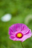 Cosmos rosado en el campo verde imagen de archivo libre de regalías