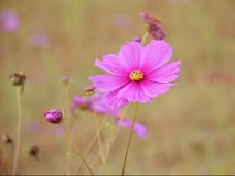 Cosmos rosado en el jardín Fotografía de archivo libre de regalías