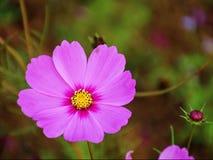 Cosmos rosado en el jardín Imagenes de archivo