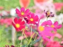 Cosmos rosado en el jardín Fotos de archivo