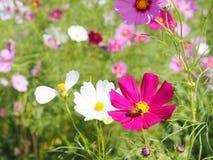Cosmos rosado que florece con la abeja Fotos de archivo