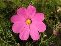 Cosmos rosado vibrante Imagen de archivo libre de regalías