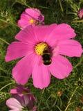 Cosmos rosado vibrante Fotografía de archivo libre de regalías