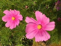 Cosmos rosado vibrante Foto de archivo