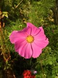 Cosmos rosado vibrante Imagenes de archivo