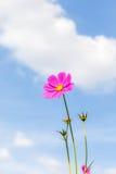 Cosmos rosado vibrante que florece con el fondo borroso del cielo azul Fotos de archivo libres de regalías