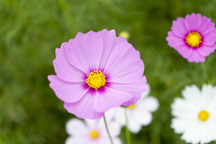 Cosmos rose 1 Images stock