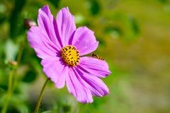 Cosmos rose Bipinnatus de fleur de cosmos avec la guêpe sauvage Fin vers le haut Photo stock