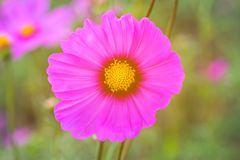 Cosmos rose Bipinnatus de fleur de cosmos avec les rayons légers brouillés b Photo stock