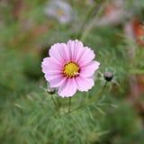 Cosmos rose Bipinnatus de fleur de cosmos Fin vers le haut Photos stock