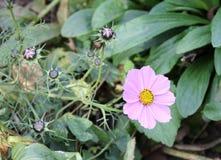 Cosmos rose Bipinnatus de fleur de cosmos Fin vers le haut Photos libres de droits