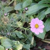 Cosmos rose Bipinnatus de fleur de cosmos Fin vers le haut Photo libre de droits