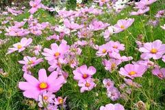 Cosmos rose et blanc dans le domaine Images stock
