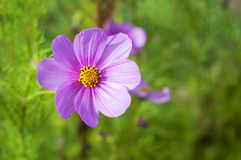 Cosmos sensation, japanese pink flower. On green background Royalty Free Stock Photography