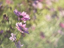 Cosmos flower in open park royalty free stock image