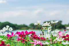 Cosmos and sky. Cosmos flowers in the garden and sky Royalty Free Stock Image