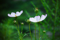 Cosmos. Some beautiful cosmos after drizzly stock images