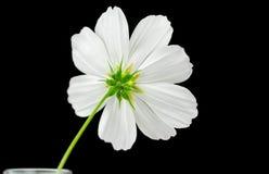 Cosmos sonata flower, back side Stock Photo