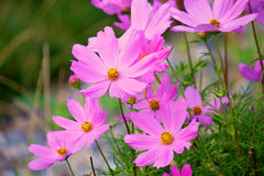 Cosmos Sonata Flowerfield pink flower field. Cosmos bipinnatus royalty free stock photos