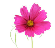 Cosmos Sonata Flowers. Single cosmos sonata flower isolated on white Stock Photography