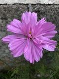 Cosmos. Sonata Pink stock photography