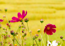 Cosmos spp. Flowers Beautifully scented natural happy impression Stock Image