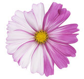 Cosmos Stock Images
