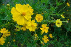 Cosmos sulphureus is also known as sulfur cosmos and yellow cosm Royalty Free Stock Image