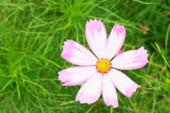 Cosmos sulphureus. Asteraceae Cosmos annual herb . Native to Mexico , also known as Huangqiu Ying , yellow cosmos , yellow cosmos, Huang sulfur , sulfur daisy Stock Photography