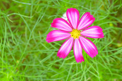 Cosmos sulphureus. Asteraceae Cosmos annual herb . Native to Mexico , also known as Huangqiu Ying , yellow cosmos , yellow cosmos, Huang sulfur , sulfur daisy Stock Photo