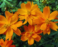 Cosmos sulphureus. Closeup of four orange cosmos flowers against bright green deeply serrated foliage Royalty Free Stock Photo