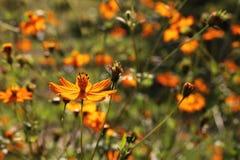 Cosmos sulphureus flower against the sun Stock Photos