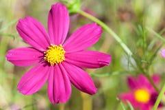 Cosmos sulphureus flower close-up royalty free stock photo