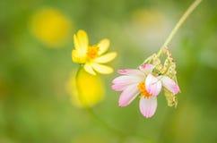 Cosmos sulphureus flower and mantis Royalty Free Stock Image