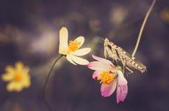 Cosmos sulphureus flower and mantis Stock Images