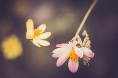 Cosmos sulphureus flower and mantis Stock Image