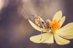 Cosmos sulphureus flower and mantis Royalty Free Stock Photography